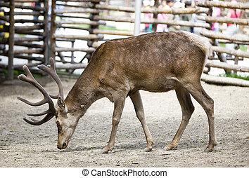 Reindeer fawn