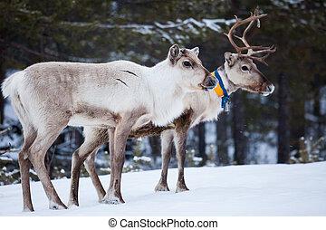 Reindeer flock in the wild at winter lapland finland