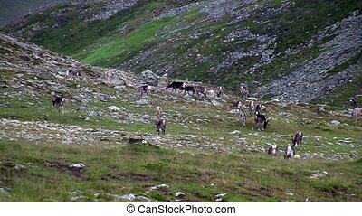 Reindeer graze on the tundra, Norway