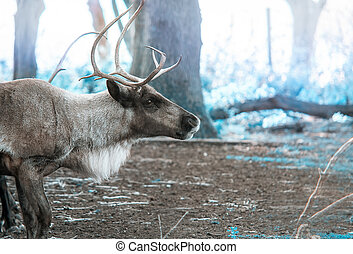 Reindeer - Image of a reindeer in a cold, winter forest.