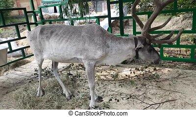 Reindeer in fence eating tree leaves.