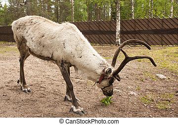 Reindeer in Lapland, Finland