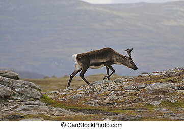 Reindeer in the tundra. Reindeer in search of food.