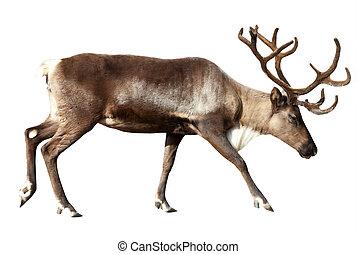 Reindeer. Isolated over white - Reindeer (Rangifer...