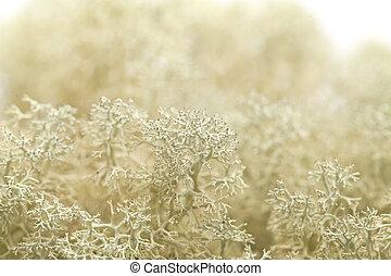 reindeer lichen background - reindeer lichen Cladonia...