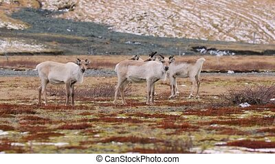 Reindeer living in Iceland - Reindeer herd in Eastern...