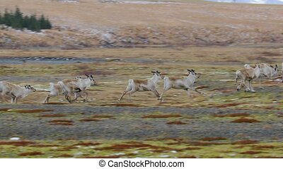 Reindeer living in Iceland - Reindeer running in herd in...