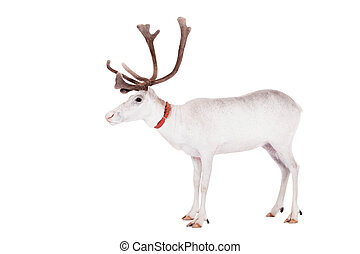 Reindeer or caribou, on the white background - Reindeer,...