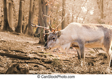 Reindeer polar in forest