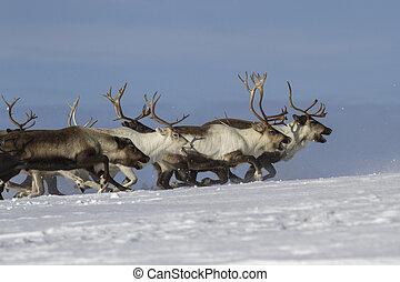 Reindeer running on snowy tundra Bering Island