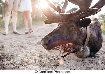 reindeer, Stag, Eating, Relaxing in the Forest, Wild. sunset