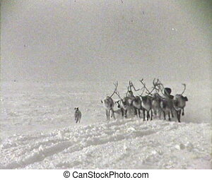 Reindeer team. Newsreel of the USSR.