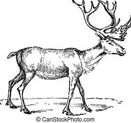 Reindeer, vintage engraving. - Reindeer, vintage engraved...