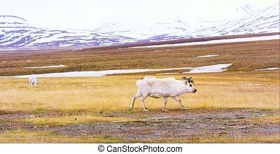 Reindeer walking in the arctic landscape of Svalbard -...