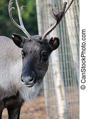Reindeer with peeling shedding velvet on antlers