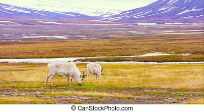 Reindeers eats grass at the plains at Svalbard