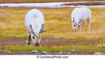 Reindeers eats grass at the plains at Svalbard - Reindeer...