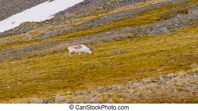 Reindeers grazing grass in the mountains at Svalbard