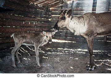 Reindeers in cattle-shed. - Reindeers mom and its baby in...