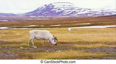 Reindeers in the arctic landscape of Svalbard - Reindeer...