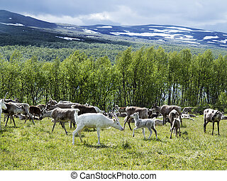 reindeers on the meadow near a forest and lake in Scandinavia