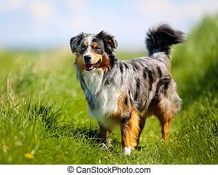 reinrassiger hund