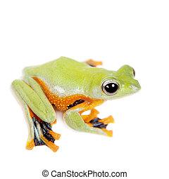 Reinwardt's flying tree frog isolated on white