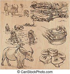 reis, crop., agriculture., ein, hand, gezeichnet, vektor,...