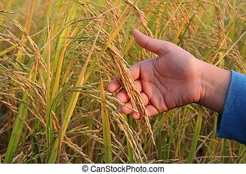Reis, junger,  Hand