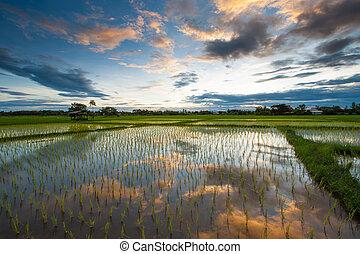 reisanbau, an, sonnenuntergang, thailand