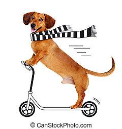 Reiten, motorroller,  dachshund, hund, karikatur