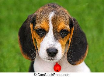 reizend, beagle, junger hund