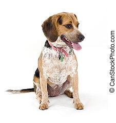 reizend, beagle, sitzen, freigestellt, weiß, hintergrund.