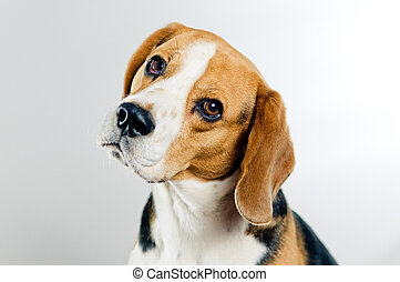 reizend, beagle