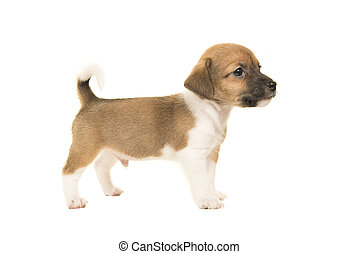 reizend, braun weiß, wagenheber, russel, terrier, junger hund, gesehen, von, der, seite, stehende , freigestellt, auf, a, weißer hintergrund