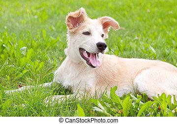 reizend, goldener apportierhund, junger hund