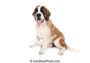 reizend, heilige bernard, purebred, junger hund