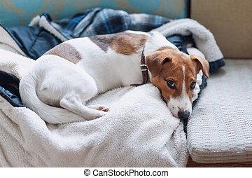 reizend, jack russell, hund, eingeschlafen, auf, der, warm, jacke, von, seine, owner., hund, basierend, oder, haben, a, siesta, daydreaming.