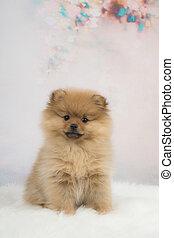 reizend, klein, pomeranian, junger hund, hund, sitzen, vor, a, romantische , hintergrund