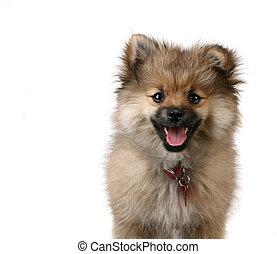 reizend, pomeranian, junger hund, weiß, hintergrund