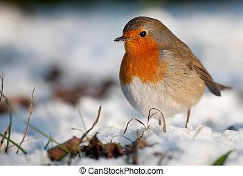 reizend, rotkehlchen, auf, schnee, in, winter