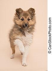 reizend, shetland sheepdog, junger hund, heben, ihr, pfote