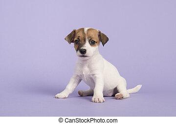 reizend, sitzen, wagenheber, russel, terrier, junger hund, anschauen kamera, auf, a, purpurroter hintergrund