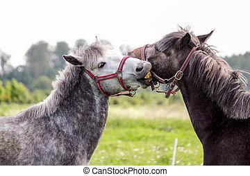 reizend, spielerisch, zwei, kämpfen, andere, ponys, jedes