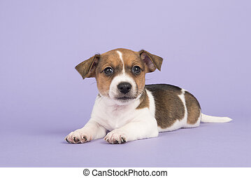 reizend, wagenheber, russel, terrier, junger hund, anschauen kamera, unten liegen, auf, a, purpurroter hintergrund