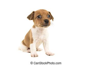 reizend, wagenheber, russel, terrier, junger hund, sitzen, freigestellt, auf, a, weißer hintergrund