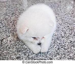 reizend, weißes, pomeranian, junger hund, auf, granit, hintergrund