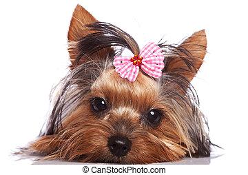 reizend, yorkshireterrier, junger hund, hund, anschauen,...
