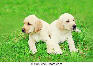 reizend, zwei, hundebabys, hunden, labradorhundapportierhund, liegen, zusammen, auf, gras