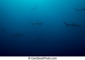 rekiny, jedwabisty, szkoła